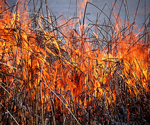 Burning invasive