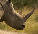 Rhino_horn