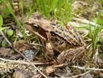 Common_Frog