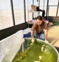 Algae for biofuels